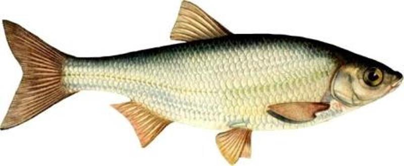 Елец - рыба семейства карповых