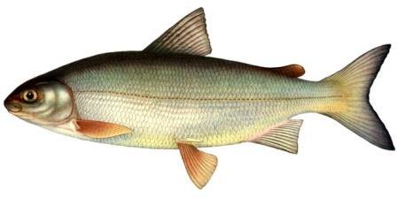 На территории России рыба сиг является широко распространенным видом