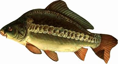 Зеркальный карп интересен не только для рыболова, но и среди гурманов