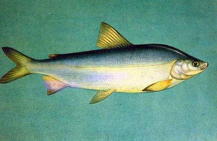 Муксун - рыба ценная как для рекреационного, так и коммерческого рыболовства