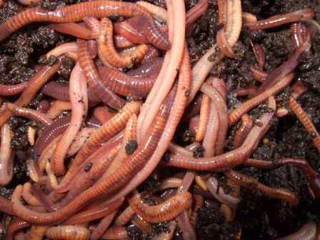 Животная насадка: навозный червь