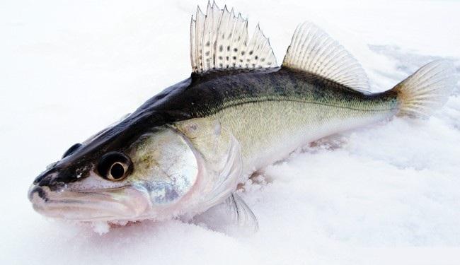 Поклонникам зимней рыбалки любимое занятие может доставить массу удовольствия и подарить богатый улов