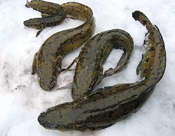 Зимняя ловля налима на жерлицу