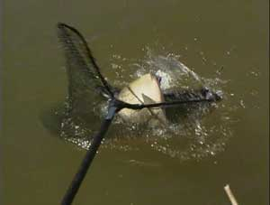 Подсачек при ловле леща обязателен