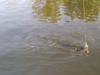 ловля голавля летом на поплавок