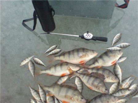 Отличный улов окуня зимой