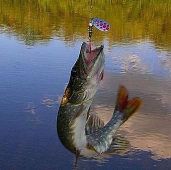 Клев щуки на озере