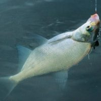Незабываемая летняя ловля леща, Советы о рыбалке - как и где ловить рыбу
