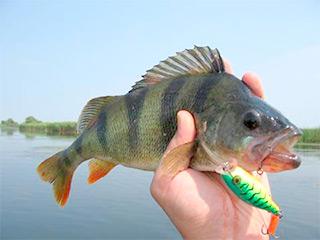 Ловля окуня на озере