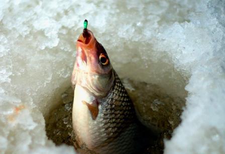 Как поймать плотву зимой на мормышку