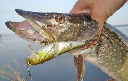 На воблеры можно ловить как крупную рыбу, так и рыбу не больших размеров