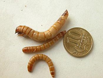 Мучной червь может вырастать до 3 см.