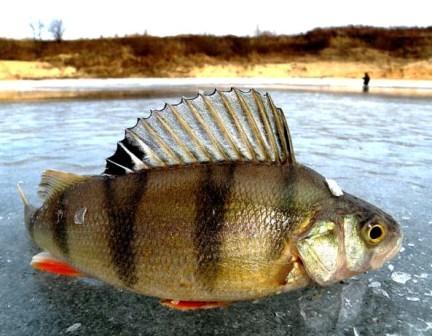 Зимой, находясь на приличных глубинах, рыба по-прежнему обращает внимание на цвета и тона приманок