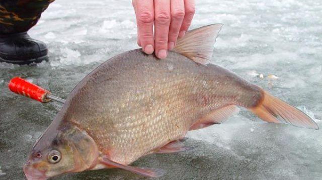 На покаток, в основном, ловят рыбу, обитающую в придонном слое, а именно: леща, белоглазку, плотву, карася и карпа. В редких случаях можно поймать судака, берша или окуня