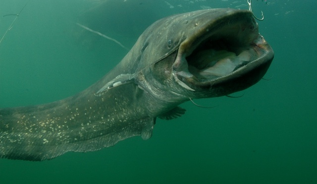 Если вы ловите с лодки, в роли ориентира может выступать скопление мелкой рыбы. Ведь именно она является потенциальной жертвой сома