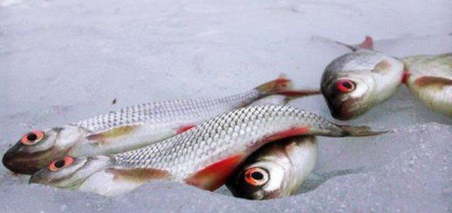 Бытует мнение, что ловить краснопёрку зимой следует только до обеда. Однако некоторые опытные рыболовы не подтверждают снижение активности ее клева в послеобеденное время