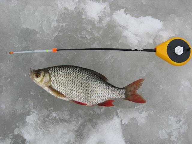 Целенаправленная ловля красноперки из-подо льда является увлечением лишь немногих энтузиастов зимней рыбалки