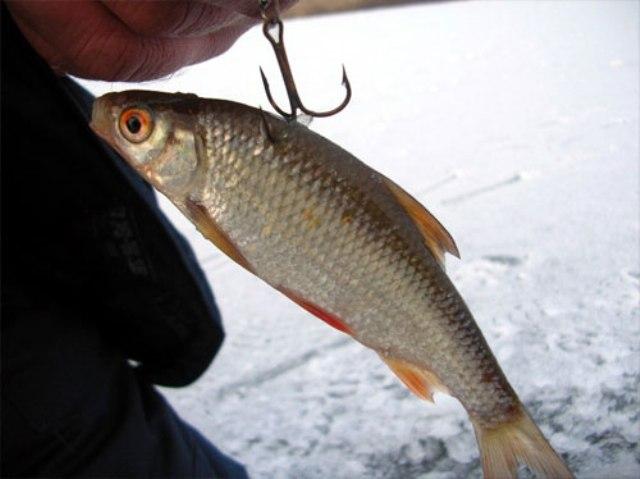 Рыбка на крючке в чистой воде может сохранять активность до недели