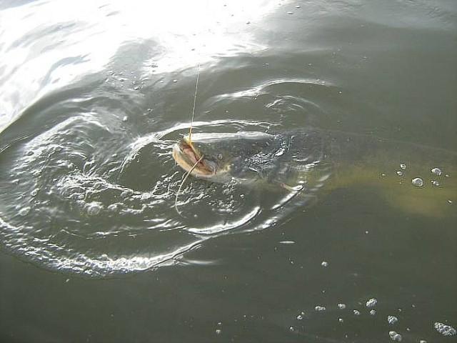 Если вы видите поваленное в реку дерево – неподалеку водится сом