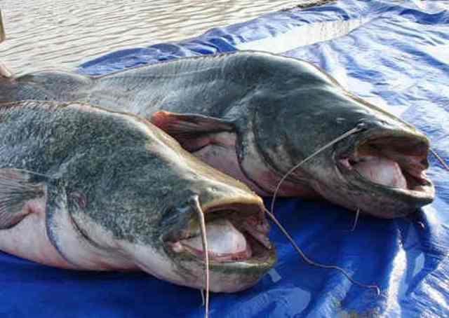 На большой глубине эту рыбу ловят на блесну, достигающую 10 см