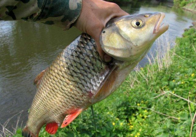 С середины апреля можно ловить голавля на спиннинг