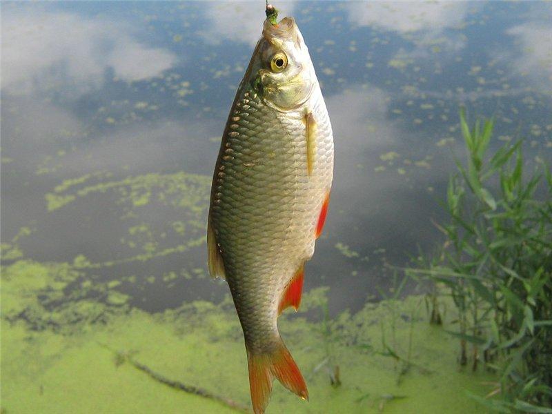 Красноперку можно смело назвать одной из самых любимых и популярных речных рыб