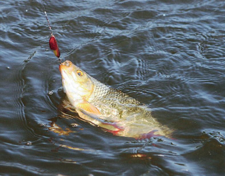Ловля красноперки на поплавочную удочку является достаточно простым делом