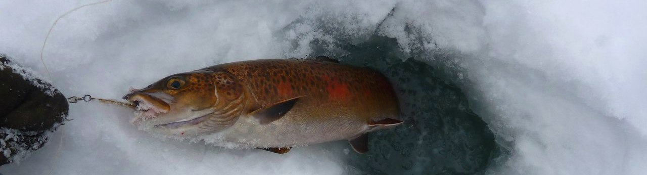 Поймать тайменя можно в продолжение всей зимы. Тем не менее в тех реках, которые впадают в Тихий океан, при ловле по первому льду могут быть длительные перерывы