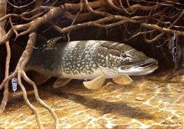 Щука – рыба умная и капризная