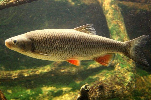 Голавль – крупная рыба, узнать которую можно по красному цвету плавников