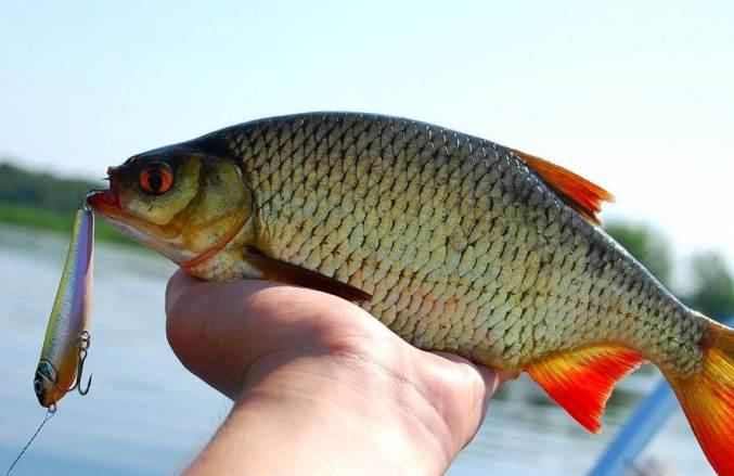 Ловля красноперки в начале лета – занятие непростое, но оно стоит того, так как рыба очень вкусная