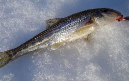 Так как это рыба донная, соответственно и ловить её нужно на дне
