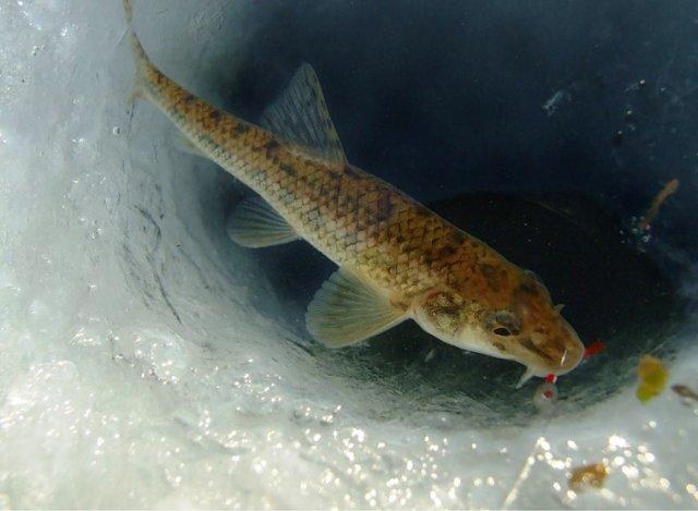 Пескарь – рыба очень интересная, и обитает только в водоёмах с чистой водой