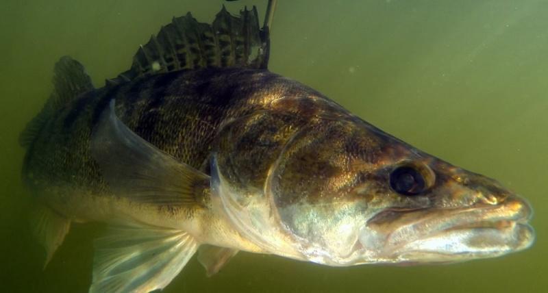 Несмотря на то, что относят судака к рыбам ночным, в некоторых случаях он предпочитает вести дневной образ жизни, а охотиться может как на дне, так и ближе в поверхности