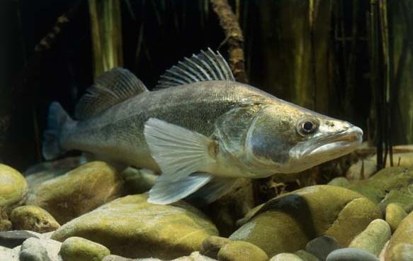 Выбирая место рыбалки, стоит принять во внимание, что судак предпочитает обитать на твердом песчаном дне, также возможно его проживание в водных объектах с гравийным дном