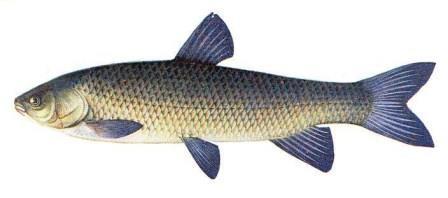Белый амур - рыба, для которой характерны высокая экологическая пластичность, быстрый рост, способность к питанию водной растительностью