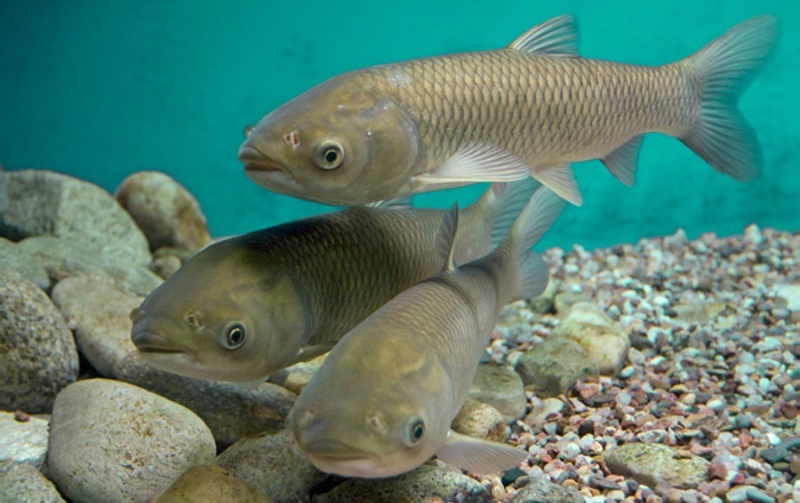 Рыба обладает удлиненным, немного сплюснутым телом, невысокой головой с прямо расположенным ртом