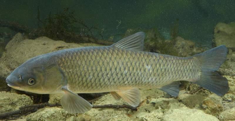 Белый амур принадлежит семейству пресноводных карповых рыб