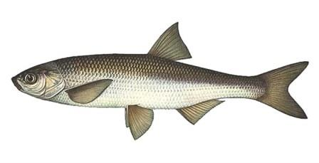 Шамаика рыба или шемая широко распространена в Черном и Азовском море