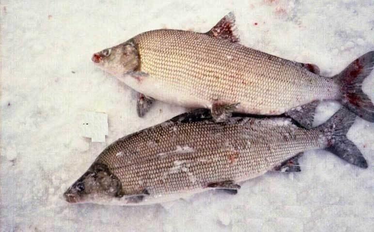рыба щекур на что ловят