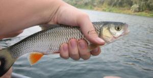 Голавль в реке