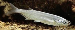 Обитает чехонь в пресных водоемах, предпочитая крупные реки