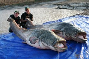 Описание гигантской рыбы