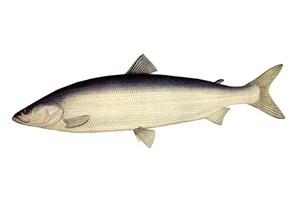 Описание рыбы белорыбица