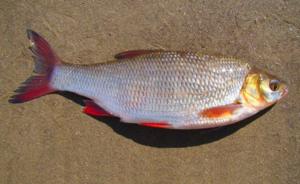 Что за рыба язь, в чем ее ценность и как отличить от других?
