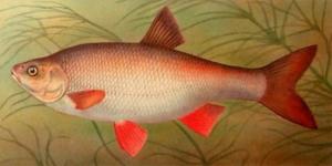 Что бы отличить эту рыбу, узнайте ее внешние признаки