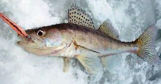Самые уловистые зимние блесны на судака