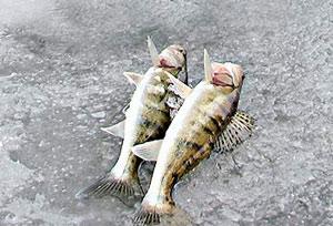 Ловля судака зимой на мормышку