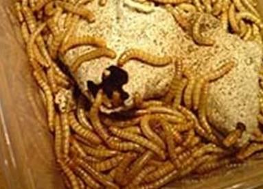 Мучной червь, становиться все более популярным в среде рыболовов