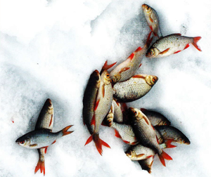 Помните, что красноперки всегда держатся стаей. Поэтому, вытащив одну рыбу, настраивайтесь на ловлю и ее сородичей